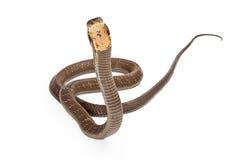 Rey Cobra Snake Looking adelante Imagen de archivo
