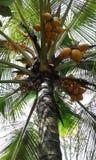 Rey Coconut Tree foto de archivo