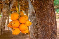Rey Coconuts Are Displayed para la venta en pequeña parada del borde de la carretera en Sigiriya imagen de archivo