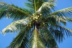 Rey Coconuts en árbol Foto de archivo