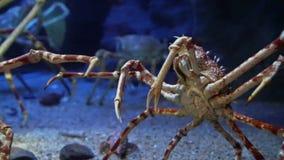 Rey Crab en la parte inferior azul marino del océano del acuario metrajes