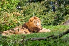 Rey de animales Fotografía de archivo
