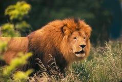 Rey de bestias Foto de archivo