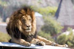 Rey de la selva Imagenes de archivo