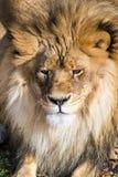 Rey de la selva Fotografía de archivo