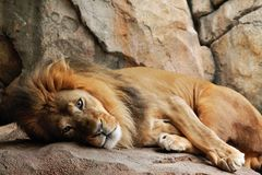 Rey de la selva Foto de archivo libre de regalías