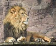 Rey de la selva Fotos de archivo