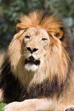 Rey de la selva imagen de archivo libre de regalías