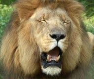 Rey de las bestias Fotografía de archivo