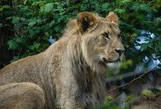 Rey de las bestias Foto de archivo