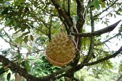 Rey de las frutas (durian) fotografía de archivo libre de regalías