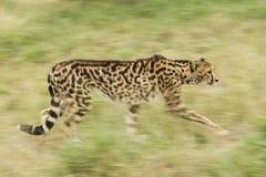 Rey de sexo femenino Cheetah (jubatus) del Acinonyx Suráfrica Fotos de archivo