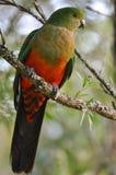 Rey de sexo masculino joven Parrot Imagen de archivo