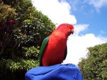 Rey de sexo masculino Parrot Imágenes de archivo libres de regalías
