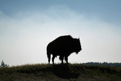 Rey del bisonte imagen de archivo