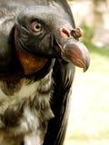 Rey del halcón Imagen de archivo libre de regalías