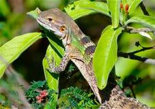 Rey del lagarto foto de archivo libre de regalías