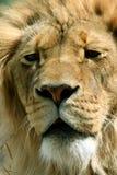 Rey del león Foto de archivo