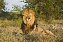 Rey del león Imágenes de archivo libres de regalías