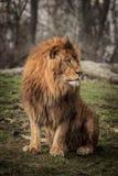 Rey del león Fotos de archivo libres de regalías