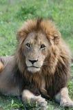 Rey del león de la selva Fotos de archivo
