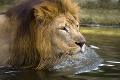 Rey del león que se refresca abajo en el río. Foto de archivo
