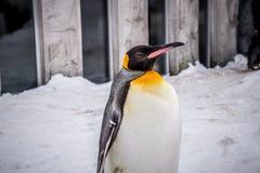 Rey del pingüino de emperador de la especie de los pingüinos imagenes de archivo