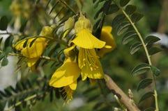 REY del SOL del ` de Hilsop del microphylla del Sophora `` Imágenes de archivo libres de regalías