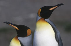 Rey del sur BRITÁNICO Penguins de Georgia Island dos que se coloca de lado a lado se cierra para arriba Imágenes de archivo libres de regalías