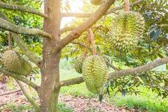 Rey del zibethinus del Durio del Durian de las frutas tropicales que cuelgan en árbol del brunch imágenes de archivo libres de regalías