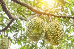 Rey del zibethinus del Durio del Durian de las frutas tropicales que cuelgan en árbol del brunch imagen de archivo libre de regalías