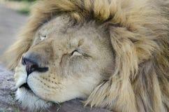 Rey durmiente de animales fotografía de archivo libre de regalías