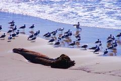 Rey Gulls de California en la playa Fotografía de archivo