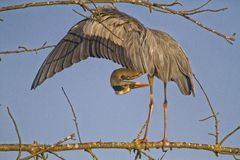 Rey heron ardea cinerea in a tree Stock Images