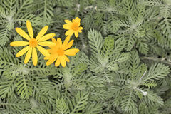 Rey-Leaved Euryops Euryops pectinatus Stock Image
