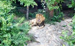 Rey Lion imagen de archivo