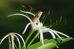Rey Lizard fotografía de archivo