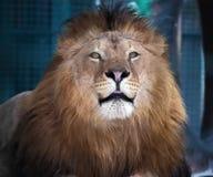 Rey orgulloso de mentira del león de animales fotografía de archivo