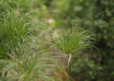 Rey ornamental Tut Grass Imágenes de archivo libres de regalías