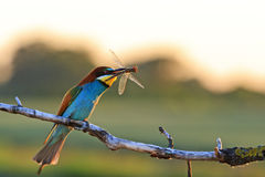 Rey-pájaro con un insecto raro en su pico Foto de archivo libre de regalías