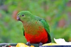 Rey Parrot Fotografía de archivo