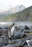 Rey Penguin Foto de archivo libre de regalías