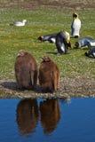 Rey Penguin Chicks - Falkland Islands Foto de archivo libre de regalías