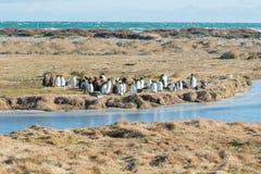 Rey Penguin Colony en Tierra del Fuego, Chile Foto de archivo