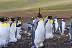 Rey Penguin con el huevo sobre pies Canto en una colonia de grajos en Falkland Islands Fotos de archivo libres de regalías
