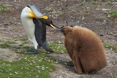 Rey Penguin con el polluelo hambriento - Falkland Islands Imágenes de archivo libres de regalías