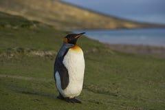 Rey Penguin en el cuello en la isla de Saunders Imagen de archivo libre de regalías
