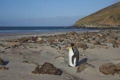 Rey Penguin en el cuello en la isla de Saunders Fotografía de archivo libre de regalías