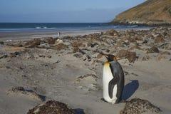 Rey Penguin en el cuello en la isla de Saunders Foto de archivo libre de regalías