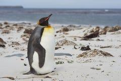 Rey Penguin en Sandy Beach Fotografía de archivo